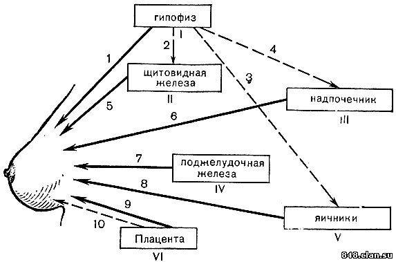 маммогенеза (схема).